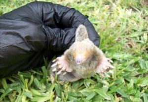 Nashville Pest Yard Mole Removal Brentwood Mole Exterminator Franklin
